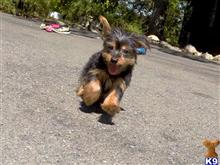 yorkshire terrier puppy posted by norcalpup