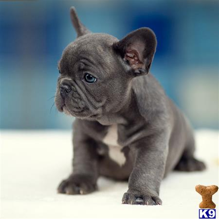 bf1cefabf French Bulldog Puppy for Sale: Jacky Blue French Bulldog baby call ...