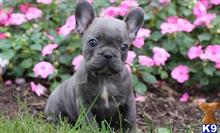 french bulldog puppy posted by normandeangelo70