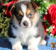 pembroke welsh corgi puppy posted by normandeangelo70