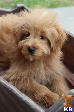 Goldendoodles Puppy for Sale: Bonny - Mini Goldendoodle 3