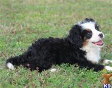bernese mountain dog puppy posted by northland