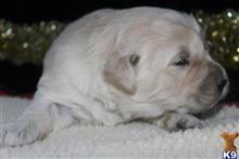 golden retriever puppy posted by northland