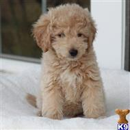goldendoodles puppy posted by northland