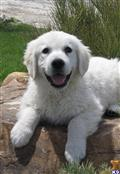 golden retriever puppy posted by northstargoldens