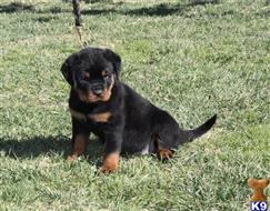rottweiler puppy posted by obersten