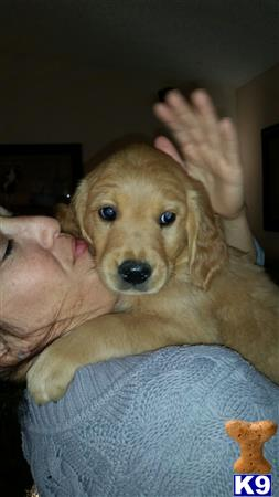 golden retriever puppy posted by onegoldenlover