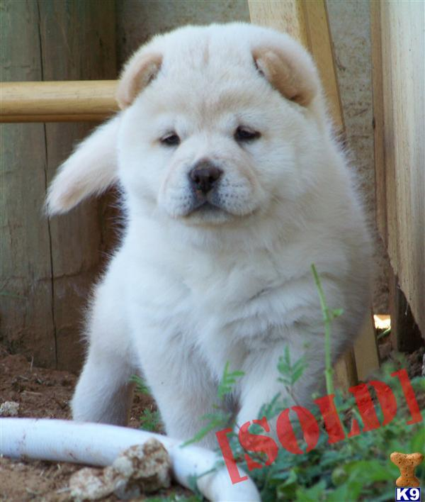 AKC chow chow puppies. A Chow Chow pup for sale located in FLORESVILLE ...