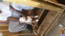american pit bull puppy posted by orlando15