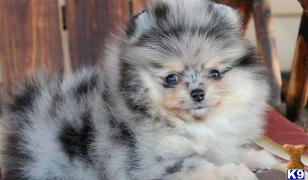 otehpomeranian Picture 1