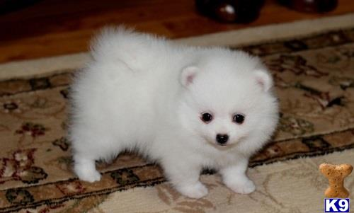 otehpomeranian Picture 2