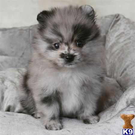 otehpomeranian Picture 3