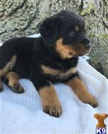 rottweiler puppy posted by pamellalorna