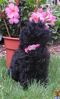 havanese puppy posted by pamnor