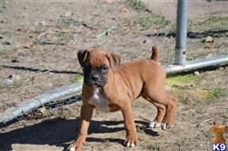 boxer puppy posted by parispuppysplayland