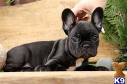 french bulldog puppy posted by pastorfrancis74