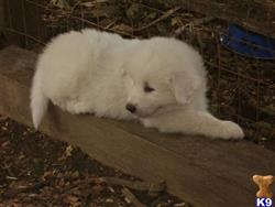 great pyrenees puppy posted by patorama