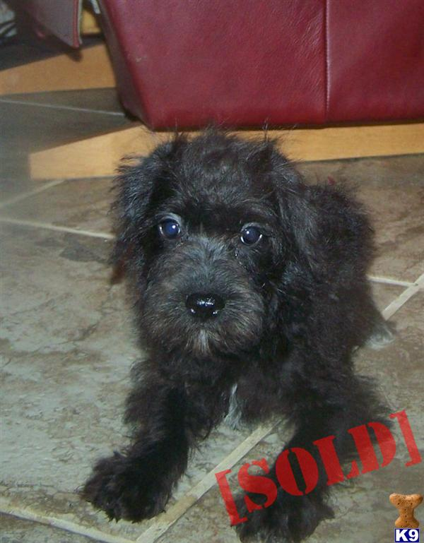 Schnoodle Male. A Schnoodle pup for sale located in GLADEWATER, TX ...