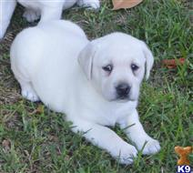 labrador retriever puppy posted by paws4you926