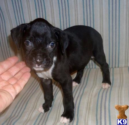 Pawstolove Boxer A on Reverse Brindle Boxer For Sale