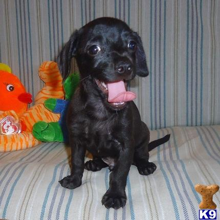 black chiweenie black chiweenie puppies chiweenie puppy black and tan ...