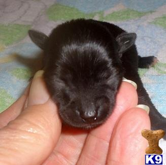 Black Chiweenie Puppies