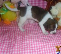 boston terrier puppy posted by pawstolove