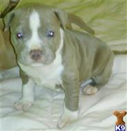 american pit bull puppy posted by paypachase