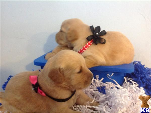 Golden Retriever Puppies in FL