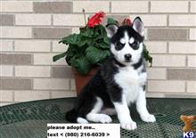 siberian husky puppy posted by peggy554
