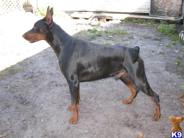 Doberman Pinscher Puppy For Sale Nitro Of River Lemon 2 Years Old