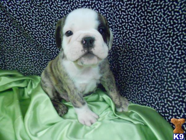 English Bulldog Puppies in NY