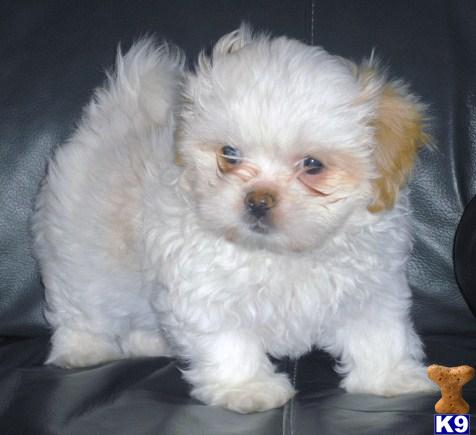 Maltese Puppies For Sale In New Zealand Maltese Puppies ...