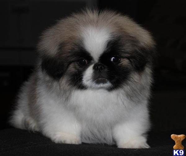 Pekingese Puppies For Sale By Local Breeders K9stud Com