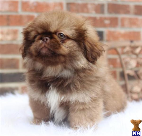 Pekingese puppies available for sale dog breeds picture