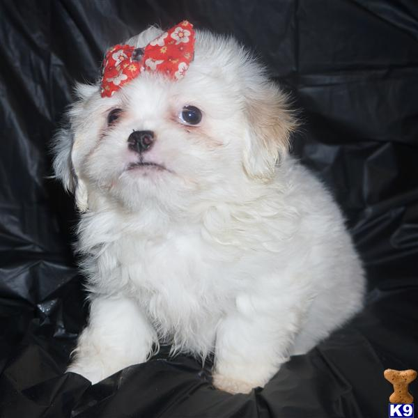 pekingese puppy posted by perfectpekskennel