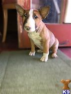 bull terrier puppy posted by perl702