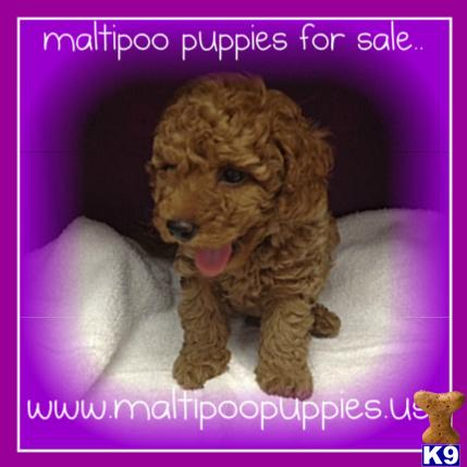 maltipoo puppies for sale..