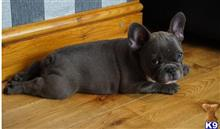 french bulldog puppy posted by pethomes9