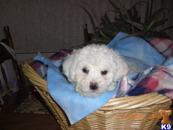 bichon frise puppy posted by pilcherfam
