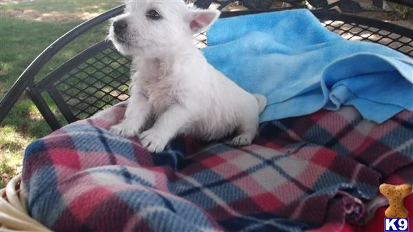 west highland white terrier puppy posted by pilcherfam