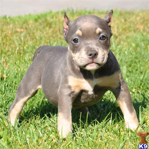 Blue Nose Pitbull Puppies For Sale To Download Blue Nose Pitbull ...