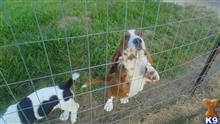 basset hound puppy posted by pjhall