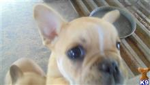 french bulldog puppy posted by pjhall