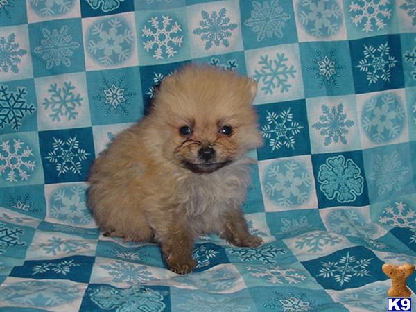 Pomeranian Husky Mix For Sale Utah Pomsky Picture Pomsky ...