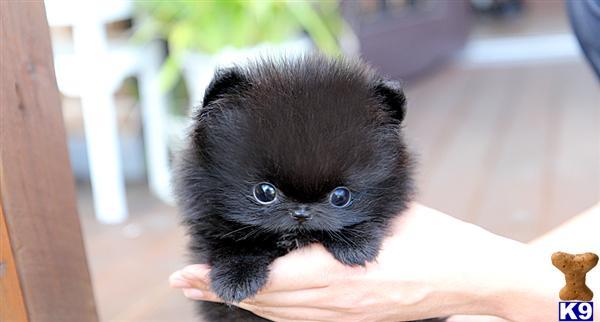 Pomeranian Puppy For Sale Poshfairytail Black Pomeranian Teacup 8