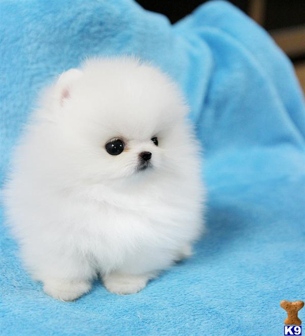 Pomeranian Puppies For Sale White Pomeranian Puppies For Sale Uk