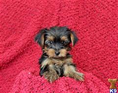 yorkshire terrier puppy posted by prettypups1234