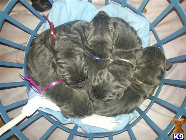Great Dane Puppies For Sale In Texas Craigslist