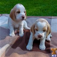 beagle puppy posted by pualpolvic
